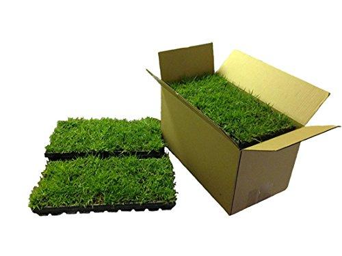 Palmetto St Augustine Grass Plugs  Box of 72