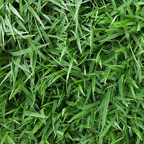 Symphony Centipede 3 Grass Plugs2- 18 pack trays