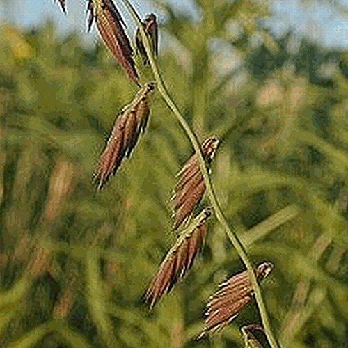 Everwilde Farms - 1 Lb Side-Oats Grama Native Grass Seeds - Gold Vault
