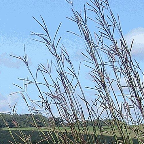 Everwilde Farms - 1000 Big Bluestem Native Grass Seeds - Gold Vault Jumbo Seed Packet