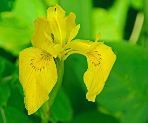 YELLOW IRIS STARTER PLANT Live Plant 5  Koi PondBogWatergarden Plant