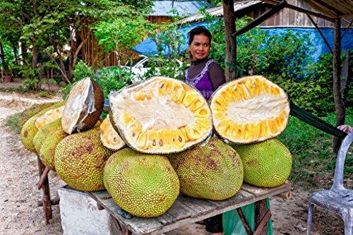 10pcs Honey Jackfruit Seeds Tropical Fruit Seedgarden plant seeds100 Fresh Seeds Germination
