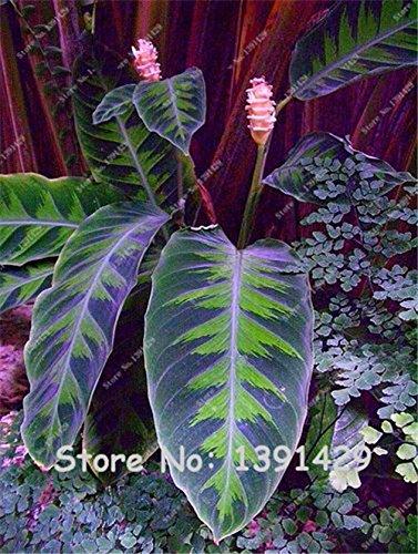 Brand New Purple Calathea Plants Seeds Ice Cream Indoor Flowers Garden Decoration Bonsai Pot for Office Desk--50 pieces