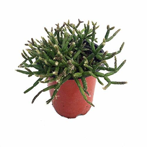 Hodge Podge Cactus Plant - Rhipsalis - 4 Pot