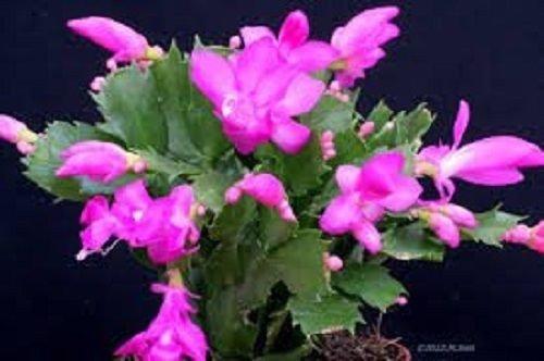 Pink Christmas Cactus Plant - Zygocactus - 6 Pot