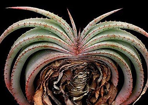 Aloe Suprafoliata Exotic Cacti Xeriscaping Succulent Rare Cactus Seed 10 Seeds