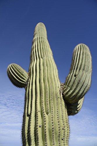 25 Gigantic Saguaro Cactus Seeds Carnegia gigantea