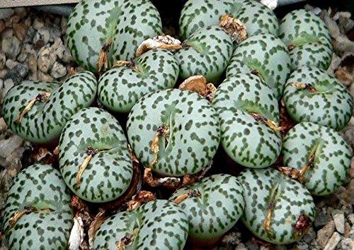Conophytum obcordellum v obcordellum rare mesemb exotic succulent seed 30 SEEDS