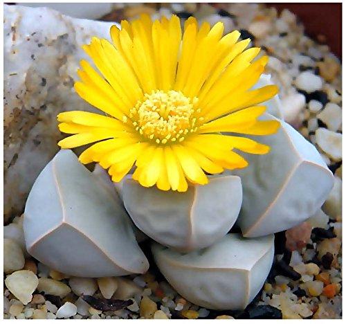 5 Packs X 20 Karoo Rose Lapidaria Margaretae - Rare Mesembs Living Rock Stome Cactus Cacti Succulent Seeds - By