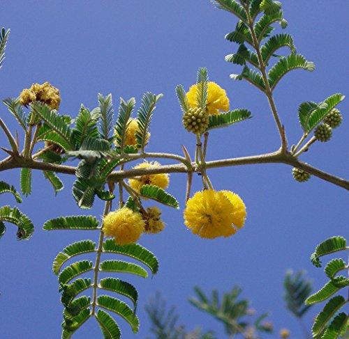 Acacia Farnesiana Sold By Exotic Cactus Vachellia Rare Mimosa Tree Bonsai Aroma Bush Seed 50 Seeds