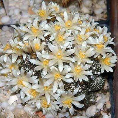 Blossfeldia Liliputana Cacti Rare Cactus Seed 30 Seeds