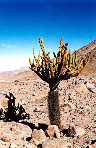 Browningia Candelaris  South American Rare Cactus  Edible Cacti Fruits  10 Seeds
