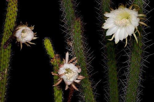 Harrisia aboriginum florida native night bloom cacti rare cactus seed 15 SEEDS