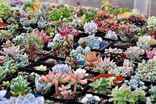 100 Rare Mix Succulent Plants Seeds Multicapacity Process Organic Bulk Seed S015
