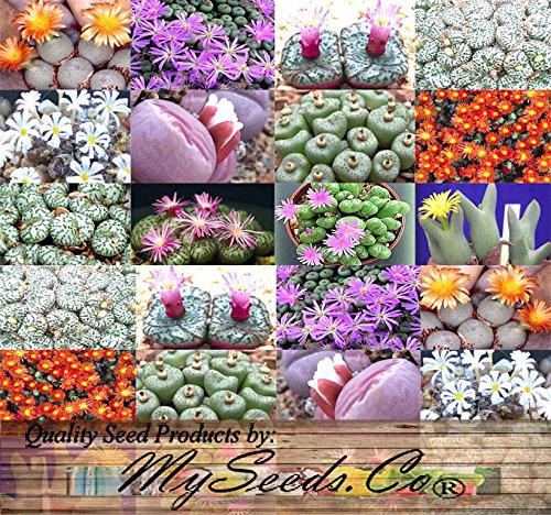 5 Packs X 50 Conophytum Species Mix Seeds - Cactus Mix - House Plants Cactus Cacti Succulent For Greenhouse And