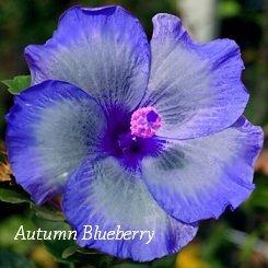 Autumn Blueberry Hibiscus Hibiscus Seeds 10 Seeds Perennial Hibiscus Hibiscus Flower