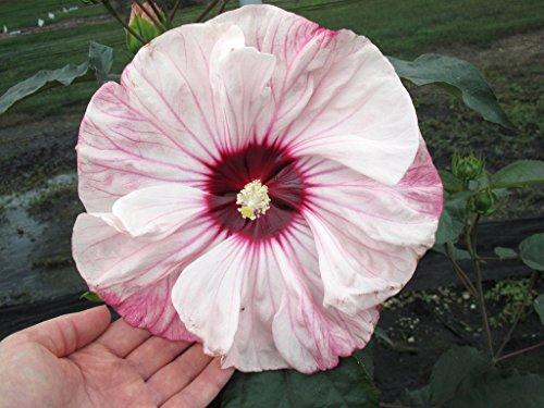Hardy Hibiscus Seeds - Cherry Cheesecake - Perennial Flowering Shrub - 10 Seeds