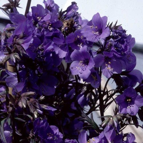 40 Purple Rain Polemonium Jacobs Ladder Flower Seeds  Shade Loving Perennial