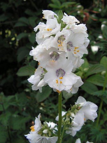 70 Polemonium Pearl White Jacobs Ladder Flower Seeds  Shade Loving Perennial