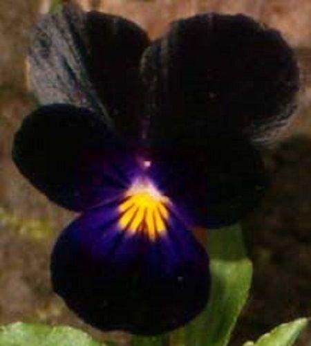 NEW 35 VELVETY BLACK VIOLA FLOWER SEEDS  SHADE LOVING PERENNIAL