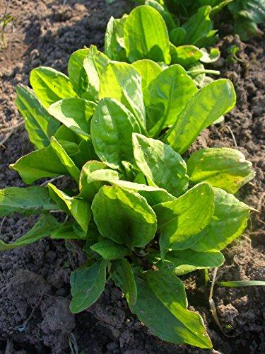 1000mg Green Sorrel Seeds ~ Hardy Perennial ~ Early Baby Salad ~ Lemon Flavor