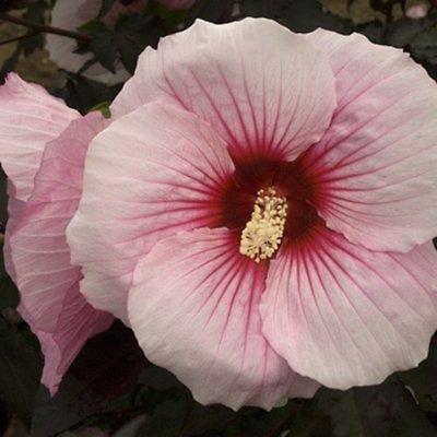 Hardy Hibiscus Seeds★ SUMMER STORM ★ Winter Hardy Perennial Shrub ★ 10 Seeds