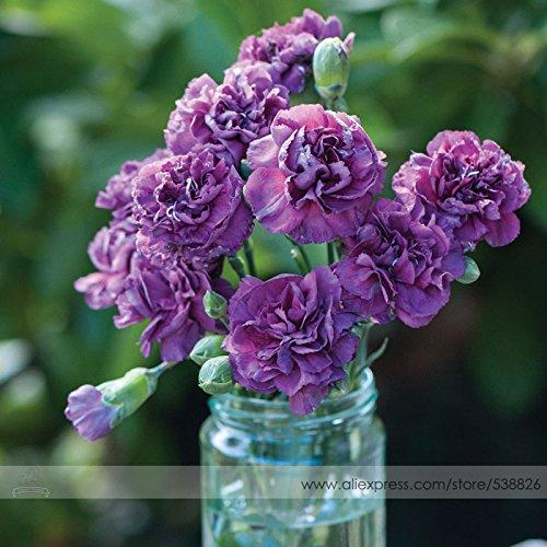 the Rarest Dianthus Purple Rain Carnation Flower Seeds Professional Pack 50 Seeds  Pack Hardy Perennial Bonsai Flower