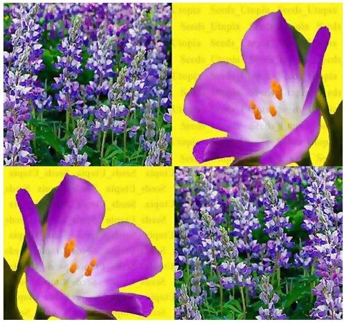 80 Wild Perennial Lupine Flower Seeds Lupinus Perennis Sweet-pea-like Flowers