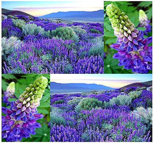 80 X Wild Perennial Lupine Flower Seeds Lupinus Perennis Sweet-pea-like Flowers - By Myseedsco