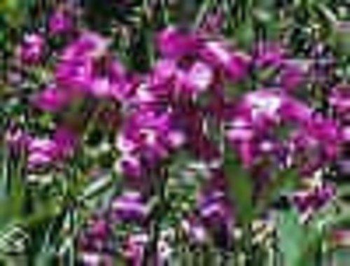 Lathyrus Latifolius Perennial Sweet Pea Seeds