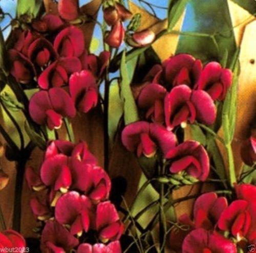 Sweet Pea Pearl Red Lathyrus latifolius ~30 Seeds~ Perennial Sweet Pea