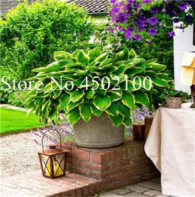 AGROBITS 100 Pcs Beautiful Hosta Bonsai Perennials Plantain Lily Flower White Lace Home Garden Ground Cover Ornamental Grass Plants 8
