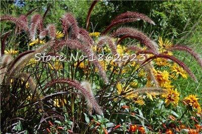 Kasuki 100 PcsBag Heirloom Pennisetum Alopecuroides Bonsai Ornamental Grass Plant for Home Garden Perennial Potted Planta Easy to Grow - Color 1