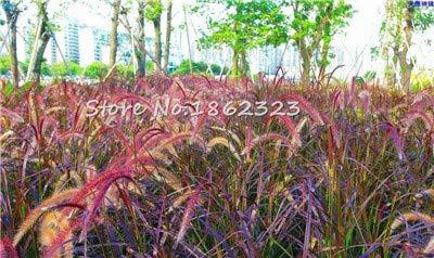 Kasuki 100 PcsBag Heirloom Pennisetum Alopecuroides Bonsai Ornamental Grass Plant for Home Garden Perennial Potted Planta Easy to Grow - Color 11