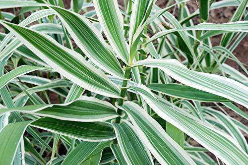 Peppermint Stick Giant Reed Ornamental Grass Plant - Arundo Donax - 4 Pot