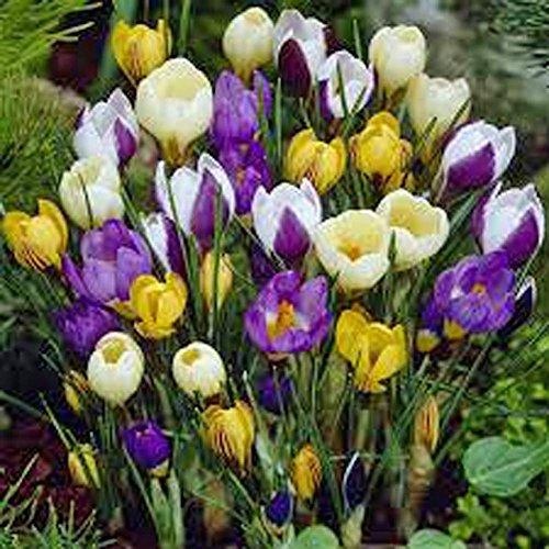 Crocus Species Mix 1 Bulb Purple White Yellow Perennial Bulb Mix