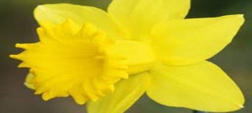 DAFFODIL BULB ONE DUTCH MASTER  YELLOW PERENNIAL DAFFODIL BULBS YELLOW FLOWERS