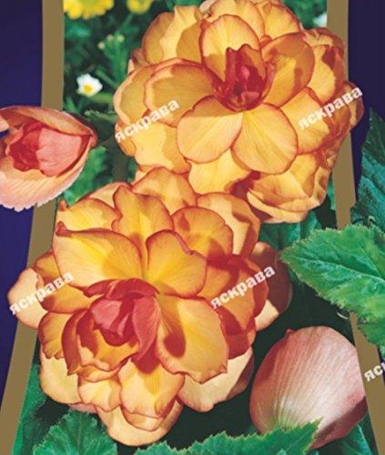 Flower seedsBegonia Orange-Yellow Perennial