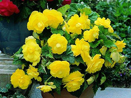 Flower seedsBegonia Terry Yellow Perennial