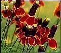 Ratibida columnifera RED-YELLOW Perennial Seeds