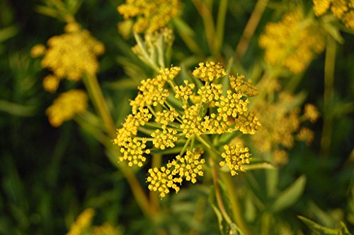 golden alexanders GOLDEN ZIZIA yellow perennial 95 seeds GroCo