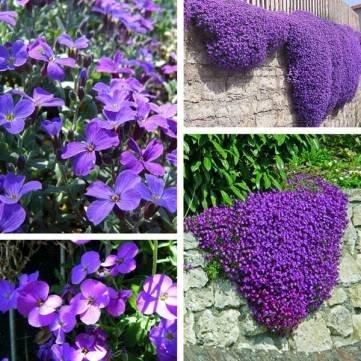 100pcs Purple Flower Aubrieta Hybrida Seeds Garden Perennial Ground Cover Plant