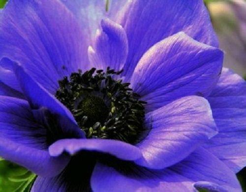 NEW 40 ANEMONE PURPLE PERENNIAL FLOWER SEEDS