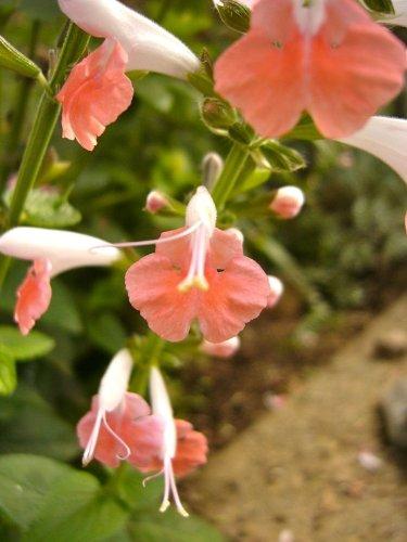 asal~&quotcoral Nymph&quot Salvia Seeds~~~~~~flamboyant Perennial