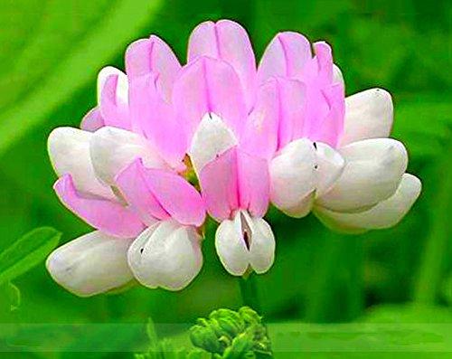 ADB Inc Securigera Varia White Pink Crown Vetch Perennial Herb Flower Seeds
