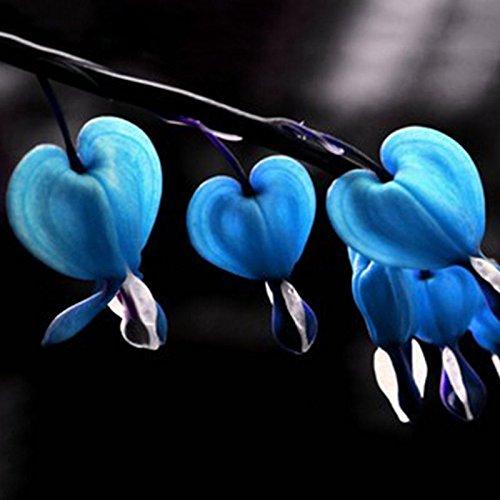 FD3014 Perennial Herbs Dicentra Spectabilis Flower Plant Bleeding Seed Blue 10pc