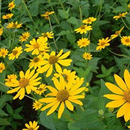 Futaba False Sunflower Heliopsis Helianthoides Compositae Perennial Herbs 1000 Seeds
