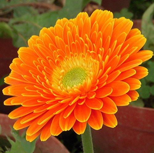 FutabaGerbera Barberton Daisy Gerbera jamesonii Bolus Perennial Herb Plant Color Mixing 100 Seeds
