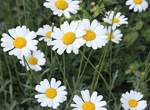 FutabaPyrethrum daisy Pyrethrum cinerariifolium Compositae Perennial herb 100 Seeds