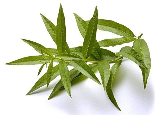 Lemon Verbena Plant - Perennial Herb - Aloysia - 3 Pot